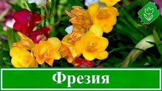 Выращивание фрезии в саду и в домашних условиях(, 2015-11-23T13:10:29.000Z)