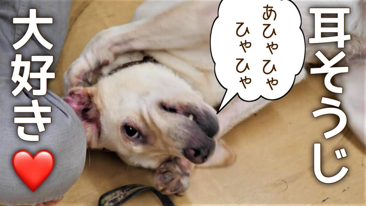 犬 耳 掃除 犬の耳掃除が自宅でできる!正しい耳掃除のやり方