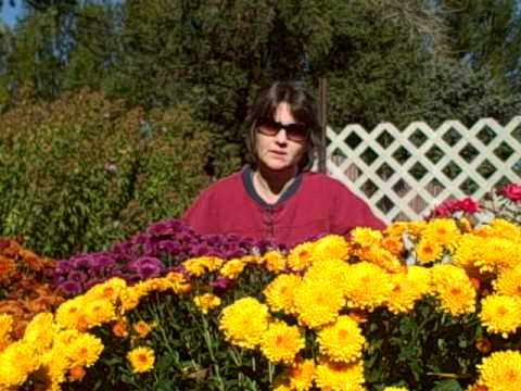 How to Grow  Mums As Fall  Flowers- Planting-Fertilizing-Pinching-Transplanting