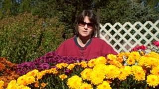 How to Grow  Mums As Fall  Flowers- Planting-Fertilizing-Pinching-Transplanting
