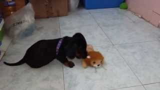 Dachshund Vs Lion !!!