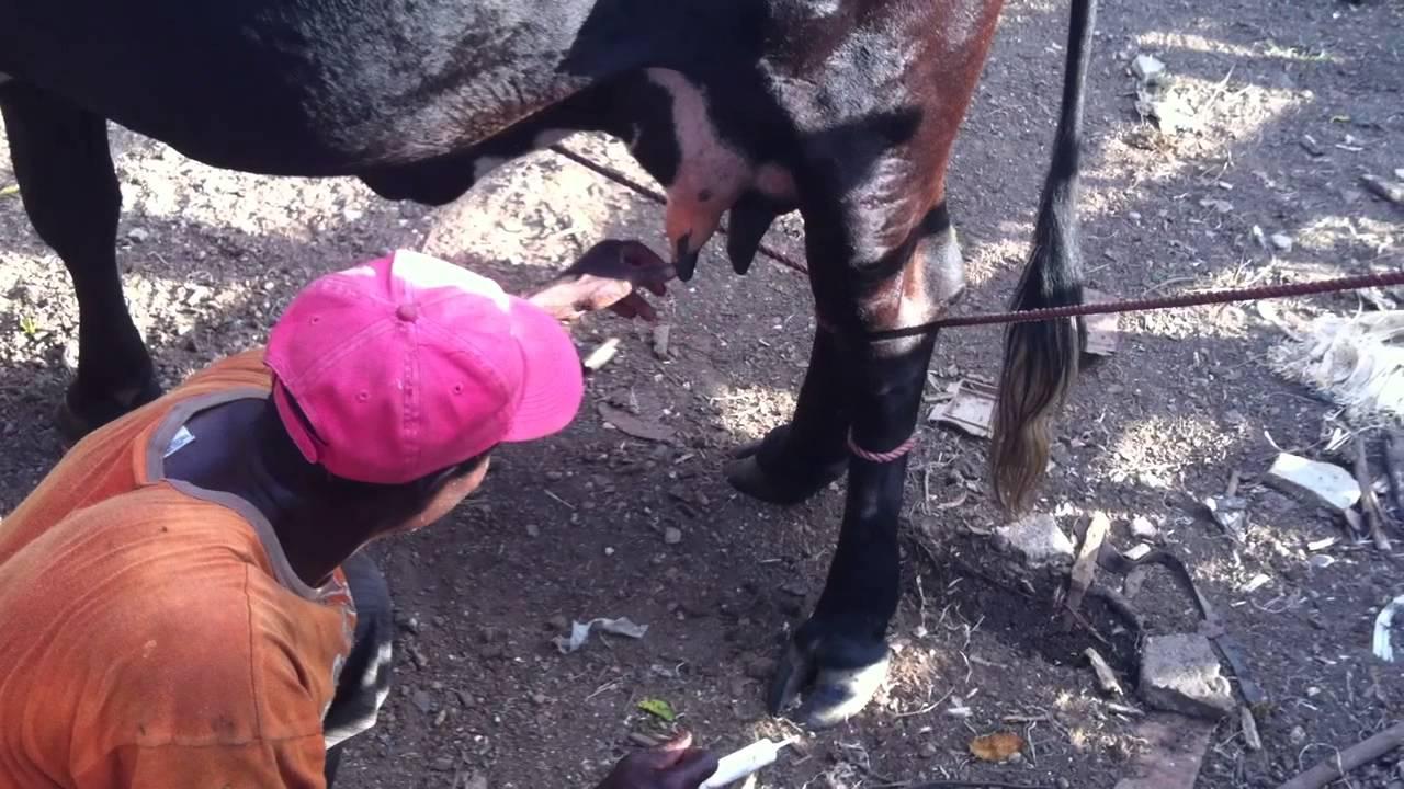 destapando la ubre de la vaca - YouTube