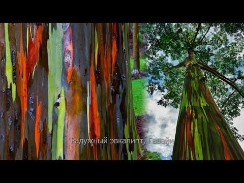 Самые великолепные деревья в этом мире