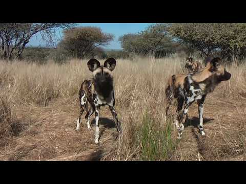 A warm welcome to the new african painted dog pack!