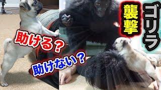 【感動】飼い主がゴリラに襲われたら愛犬は助けてくれるのか?