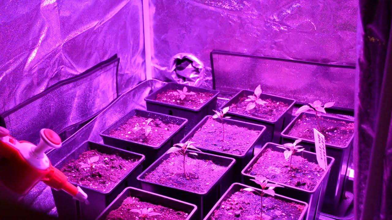 Vegetativa led coltivazione indoor peperoncini etna youtube