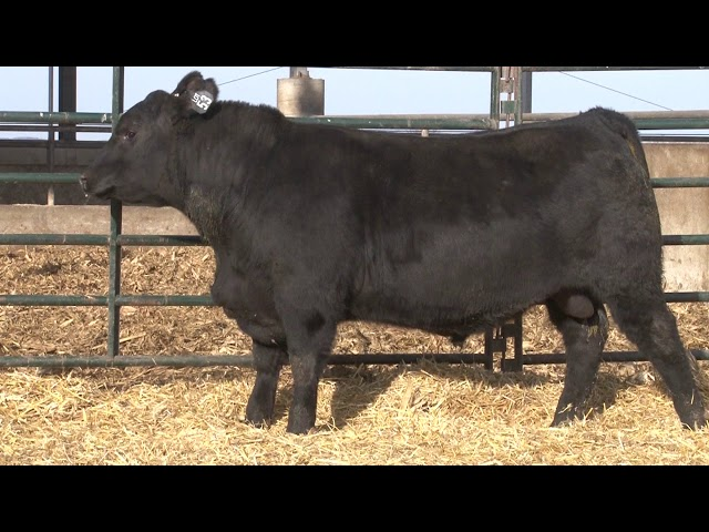 Schiefelbein Angus Farms Lot 53