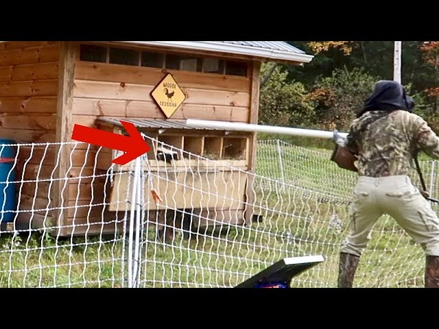 Skunks in the CHICKEN COOP!