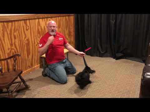 """Giant Schnauzer Male """"Quill"""" 7 Wks Early Prey Drive Testing For Personal Protection Work"""