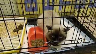 Тайская кошка Сима, Москва. Дичится :(