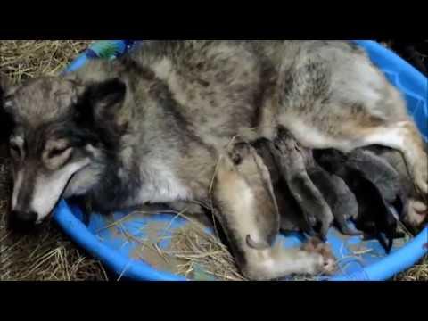 Wolfdog puppies and Wolf hybrids for sale in Florida,  www wolfdogpuppylove com, breeder