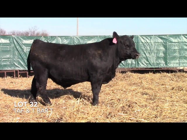 T Bar T and Taliaferro Angus Lot 32