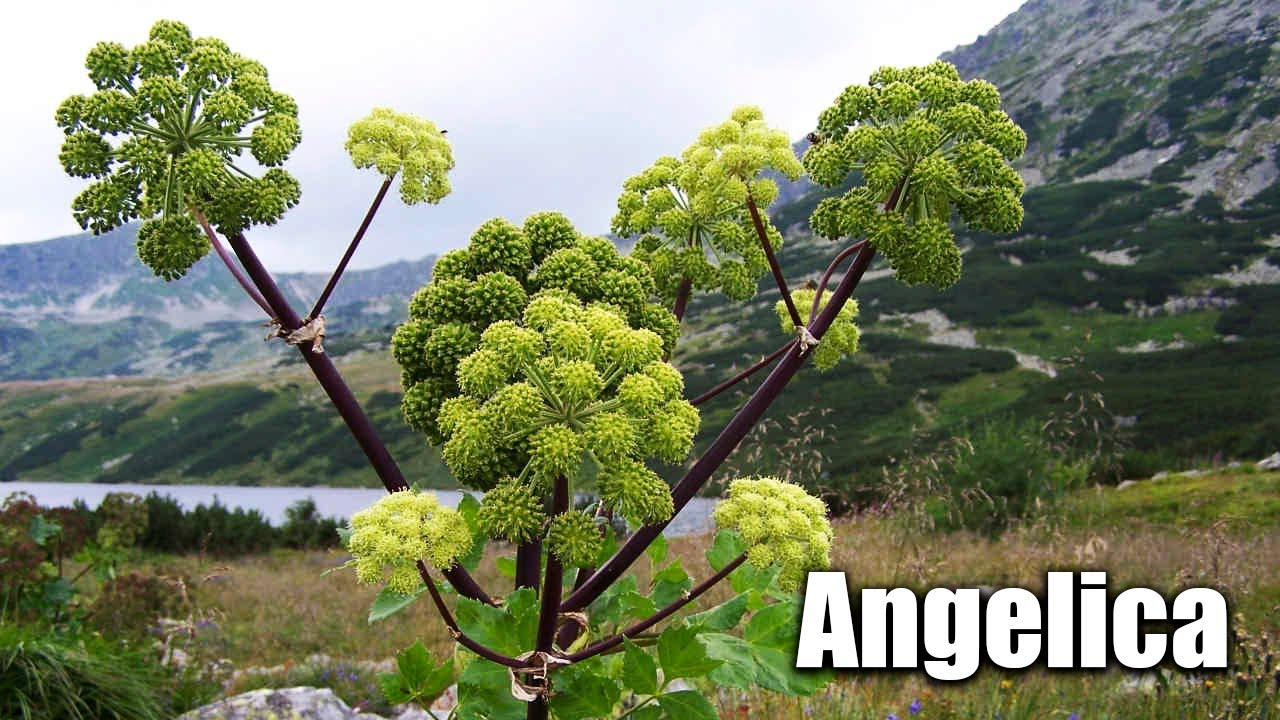 Everything about Angelica Plants For Sale - Angelica Archangelica - The ...