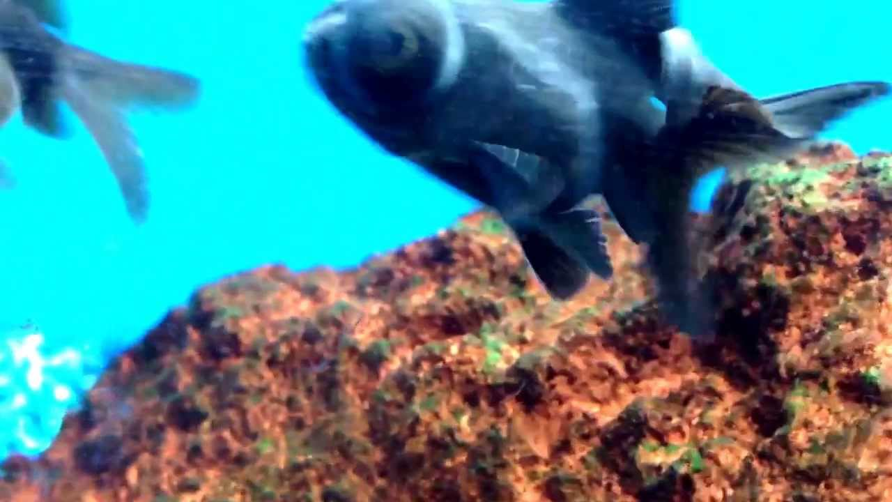 Big eyed black fish at petco p youtube for One eyed fish