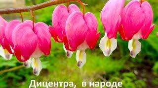 видео синие полевые цветы фото