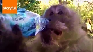 Thirsty Monkey Knows How To Open Water Bottle (Storyful, Wild Animals)