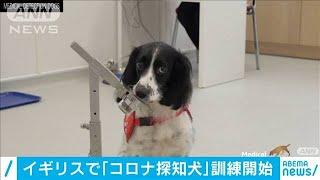 「コロナ探知犬」訓練 症状現れる前に感染者判別へ(20/05/17)