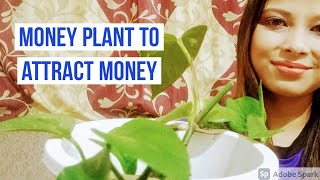 Money plant to attract money l Proper way to grow money plant l Money plant to attract wealth