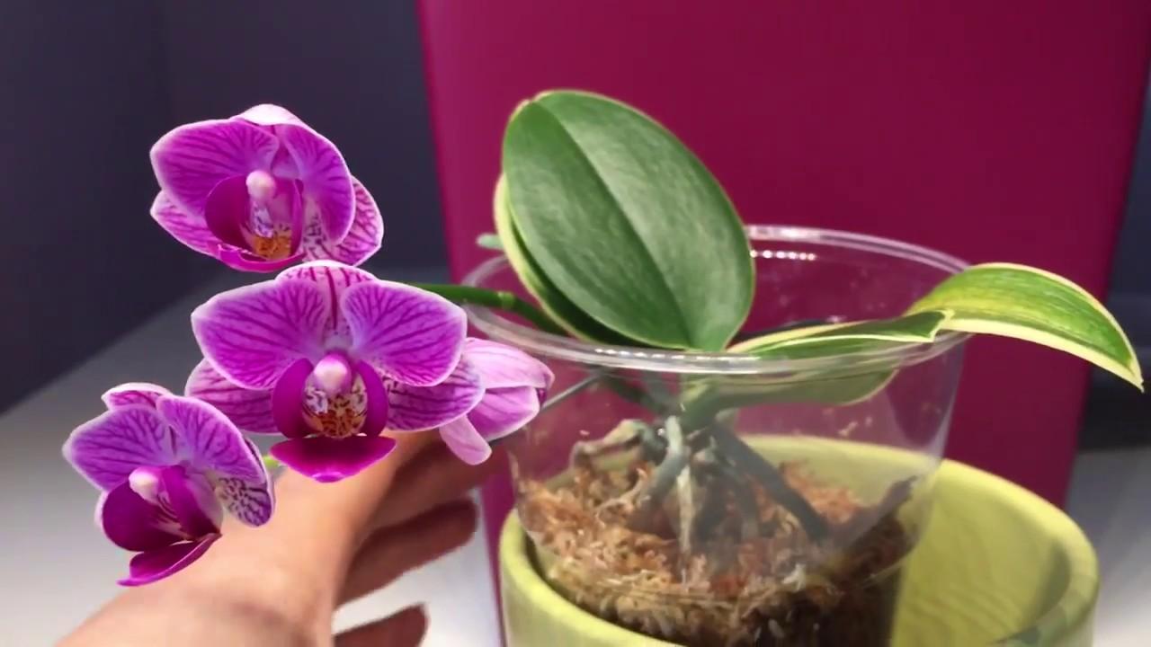 phalaenopsis sogo vivien pflege im winter fwc gegen. Black Bedroom Furniture Sets. Home Design Ideas