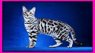 БЕНГАЛ-Межродовой  Гибрид Домашней Кошки и Бенгальской Кошки. СЕРИАЛ:ЖИВОТНЫЕ ГИБРИДЫ.