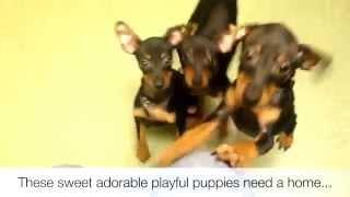 Miniature Pinscher Puppies Need Good Homes!