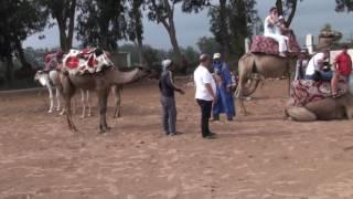 Wielbłądy, Agadir, 2016r