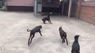 Betelges Dobermans - puppies