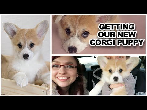 Getting our new corgi PUPPY!!!!