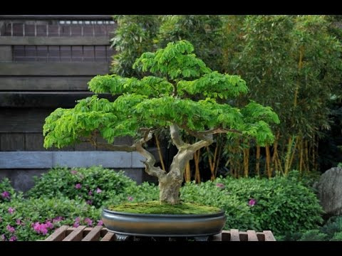 Tropical Collection - Brazilian Raintree Bonsai - YouTube