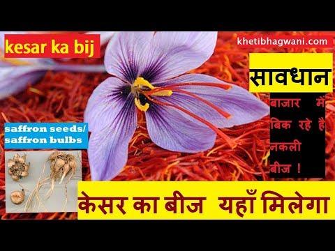 केसर का बीज कहाँ मिलता है | saffron seeds | kesar ka bij | saffron bulbs