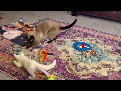 Siamese Cat Plays With Kitten