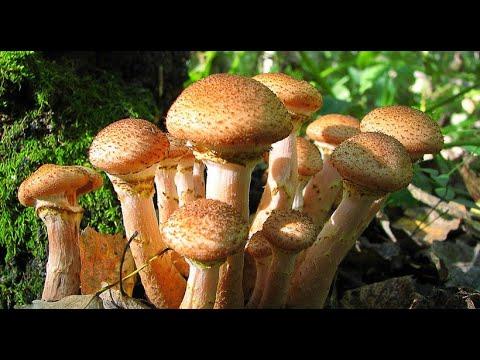 Вопрос: Какие грибы собирать в подмосковье в сентябре 2020?