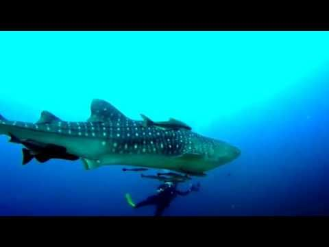 Diving with whale shark Similan 2014