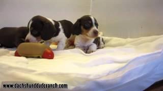 Mini Dachshund Puppies - Dachshund Dude Ranch (ddr)
