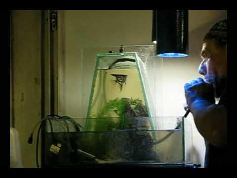 Vac pumpless inverted aquarium youtube for Inverted fish tank