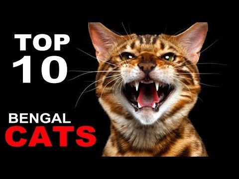 TOP 10 BENGAL CATS BREEDS