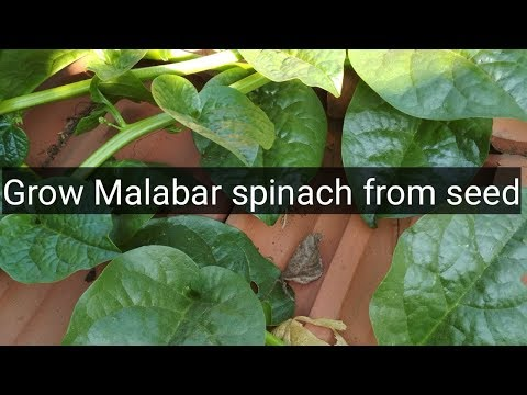 how-to-grow-malabar-spinach-from-seeds.