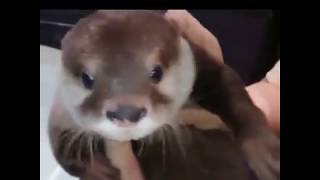 Otter Scared Of The Bath Water Then Loves It