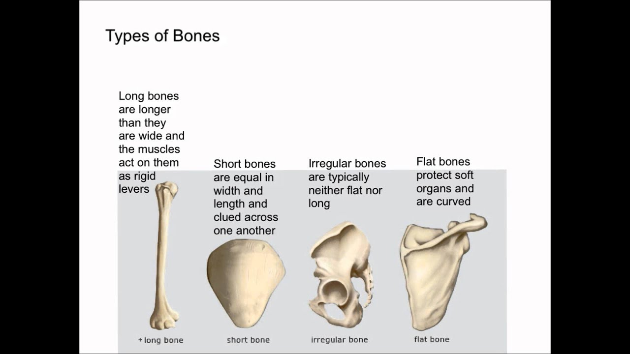 Types Of Bones Youtube