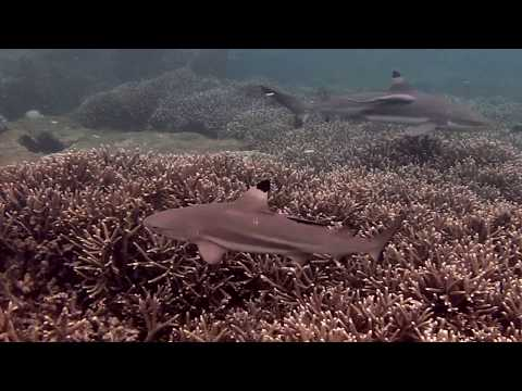 Pigeon Island, Trincomalee, Reef Shark