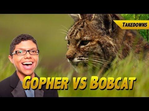 Bobcat Kills World's Most Adorable Gopher
