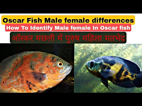 How to difference between Oscar fish male or female , Hindi /Urdu with English subtitles. thumbnail