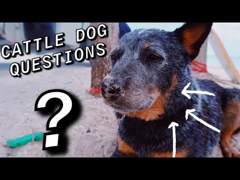 Answering Questions about the Australian Cattle Dog