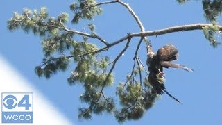 Army Veteran Rescues Eagle Stuck In Tree