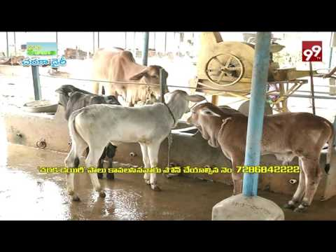 99TV PASIDI PANTALU_PURE MILK FROM CHARAKA DAIRY(17/09/2016)