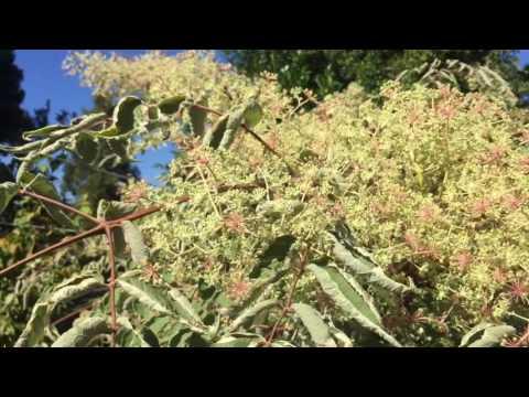 Aralia elata - Honeybee Heaven for the Summer Garden