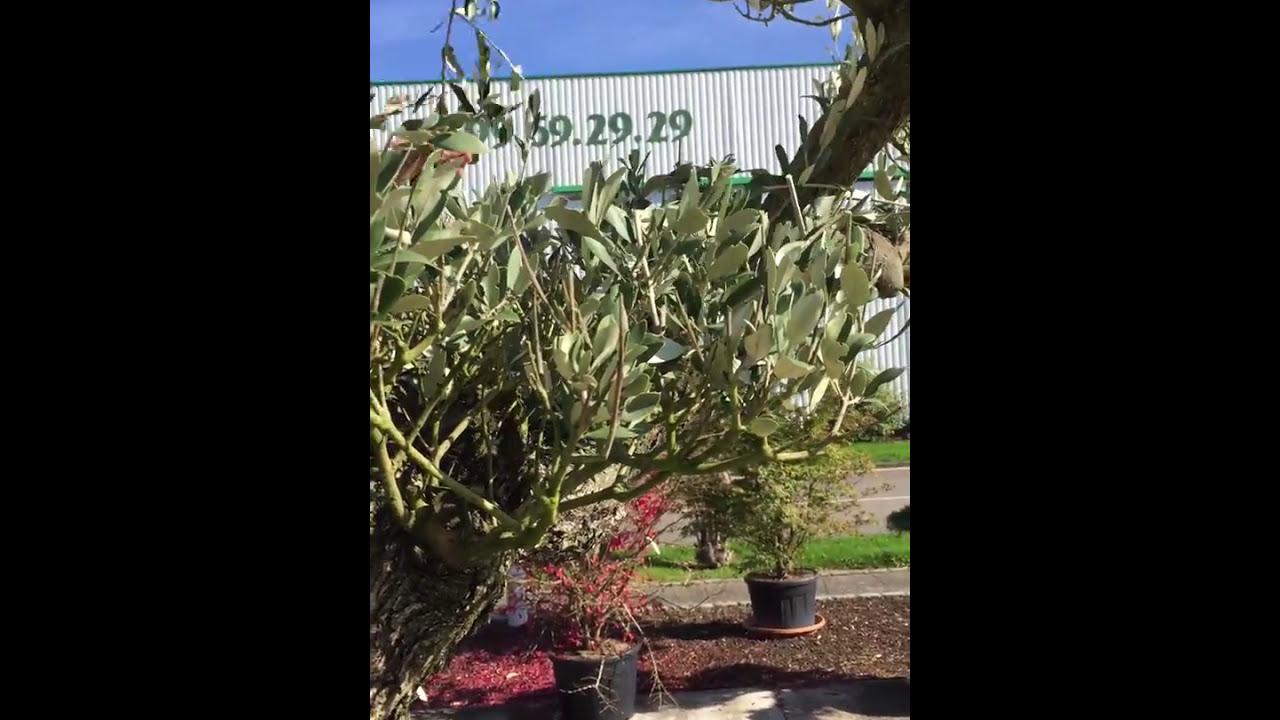 Taille D Un Olivier Comment Faire vidéo – comment tailler un olivier plateau
