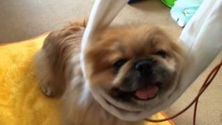 噛みつき犬の「吾郎」お顔を触ることが出来ません。 そこで。。。以前、...