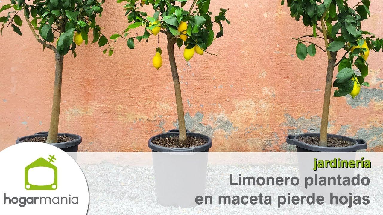 Limonero plantado en maceta pierde hojas youtube - Limonero en maceta ...