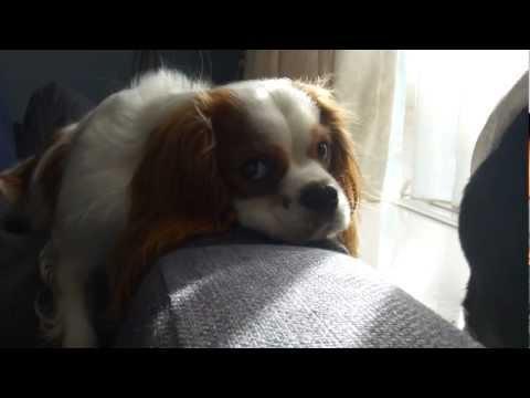 Dramatic Dog Wants To Go Walk (Cavalier King Charles Spaniel)